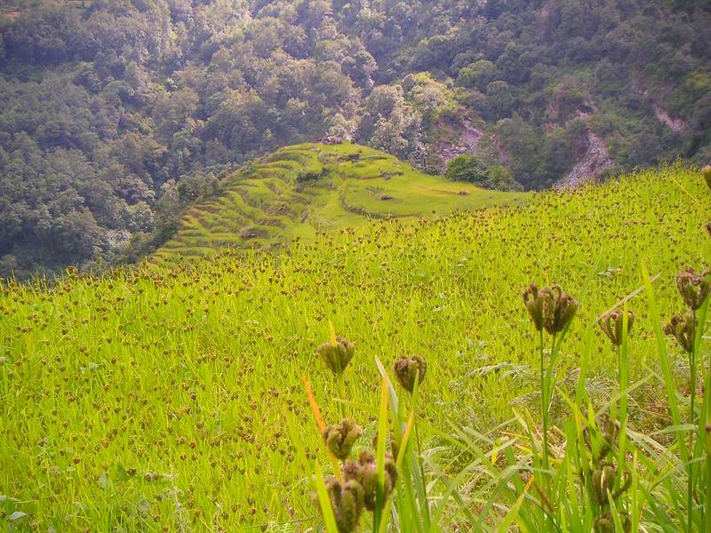 800px-Millet_fields_in_Annapurna